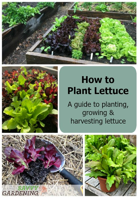 How going to plant, grow and harvest lettuce
