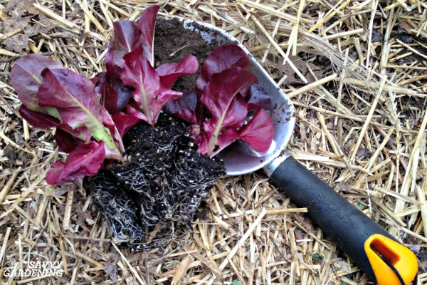 Lettuce ready to be transplanted in a garden