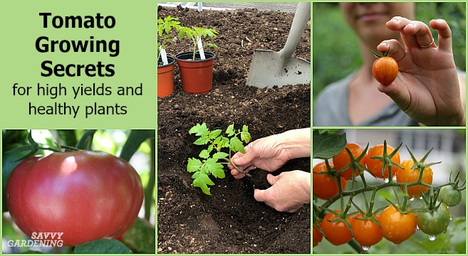 Tomato growing secrets for a big harvest