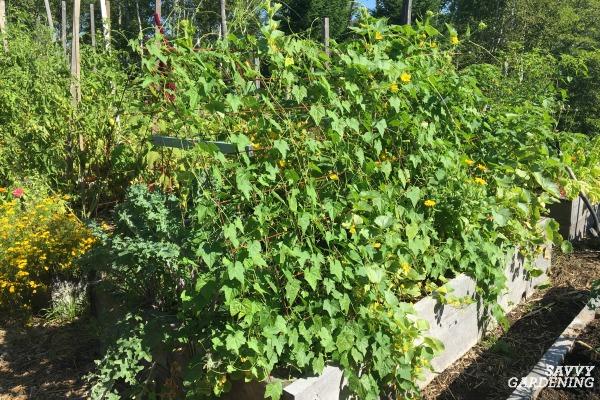 grow cucamelons on a trellis