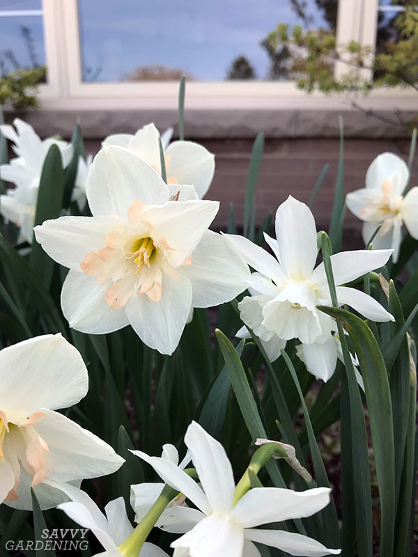 daffodils are deer-resistant bulbs