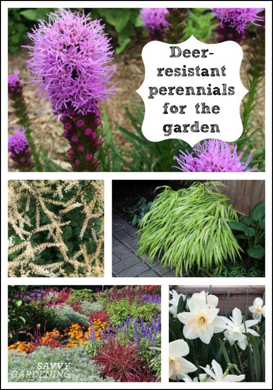 Deer-resistant perennials for the garden