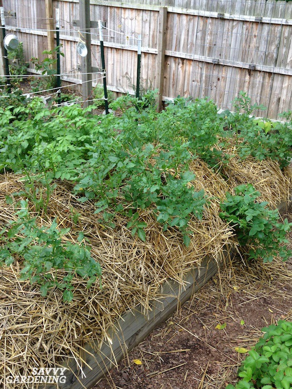 How to grow seed potatoes in straw