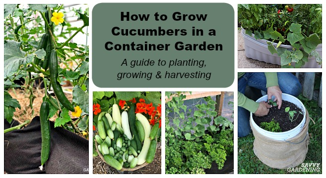 growing cucumbers in containers