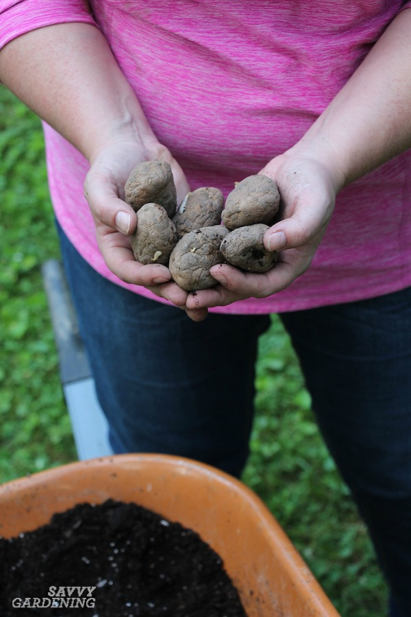 How to plant seed potatoes in pots and fabric bags