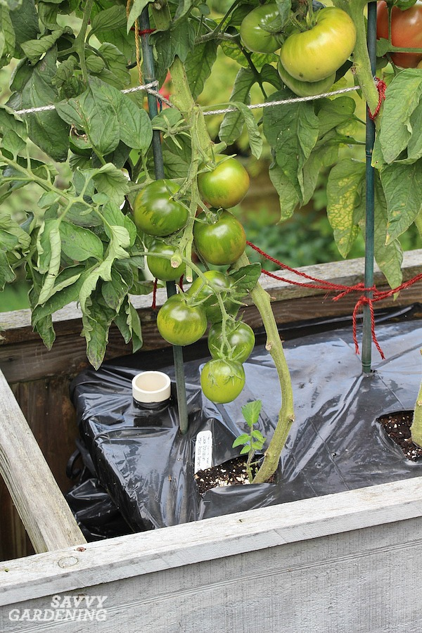 Use black plastic to warm the soil before planting tomatoes.