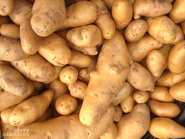 Methods for growing potatoes