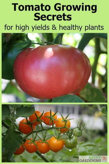 Tomato growing secrets from a pro grower