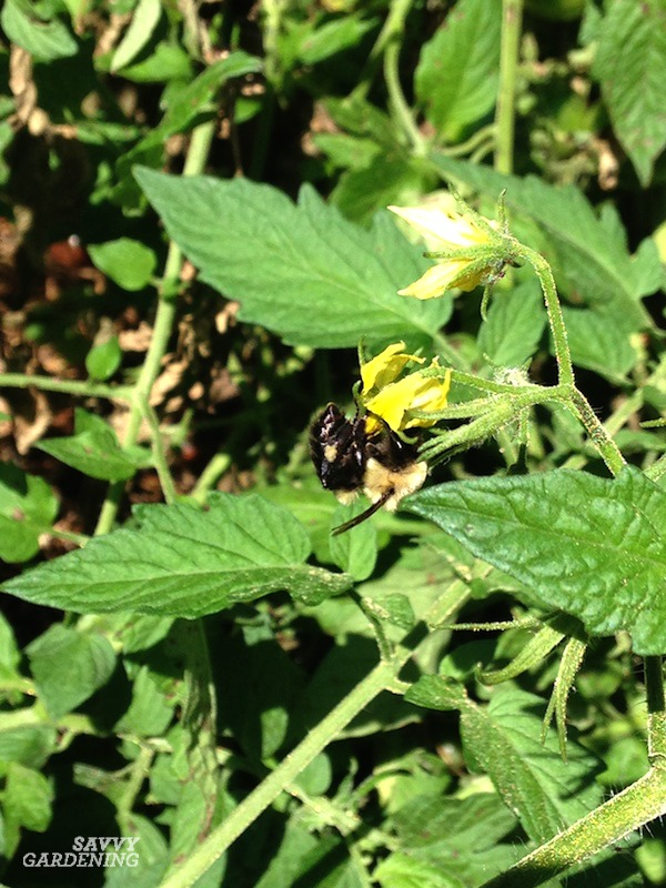 Tomato growing secrets to encourage good pollination.