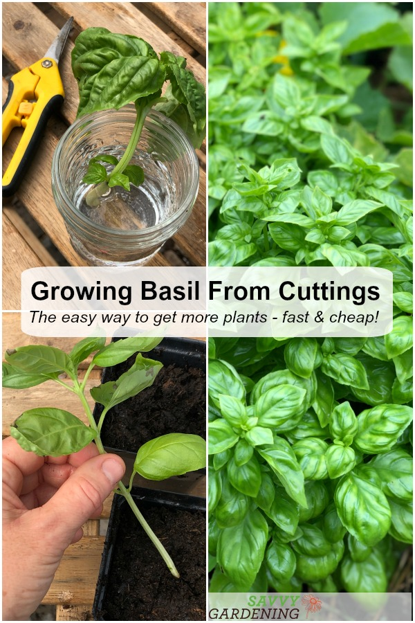 Learn how easy it is to grow basil from cuttings