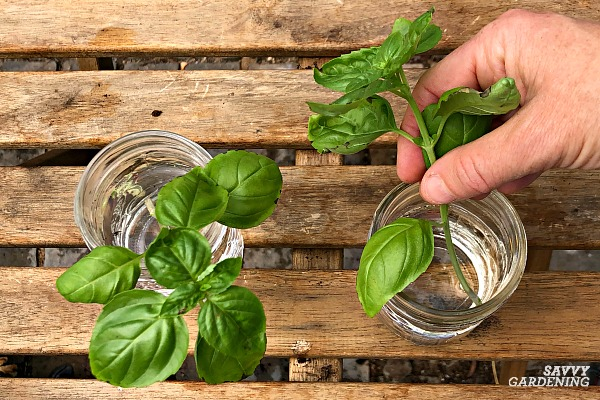 place basil cuttings in water