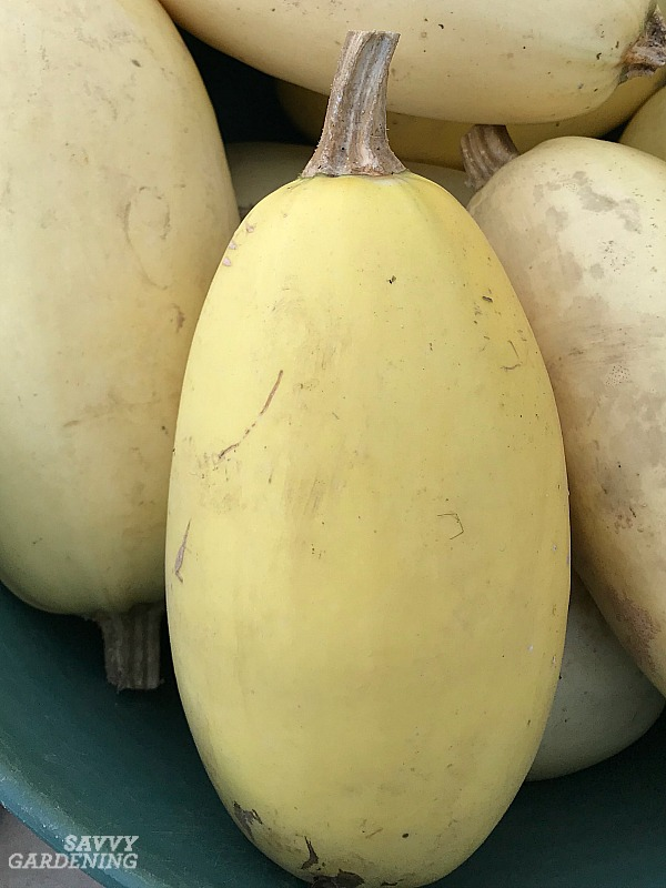 Tips for growing winter squash