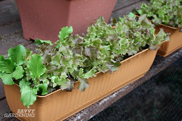 Lettuce pots are an easy way to grow food on a patio.