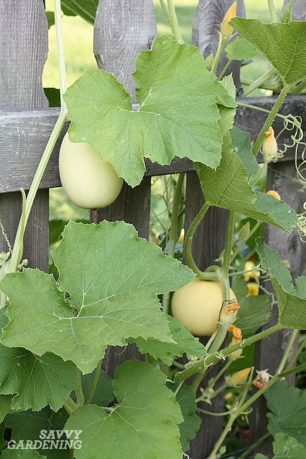 Spaghetti squash growing vertically