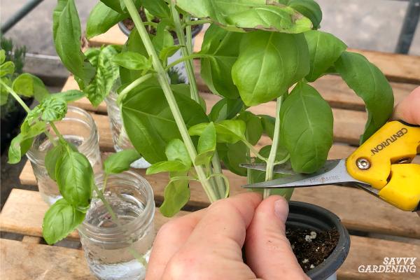 How to take a basil cutting