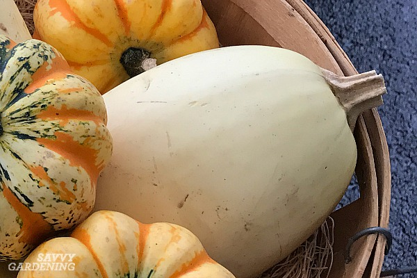 Harvesting winter squash for storage