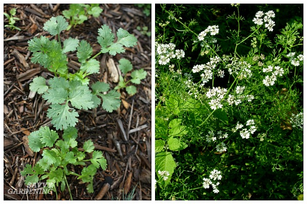 The best herbs for shade gardeners