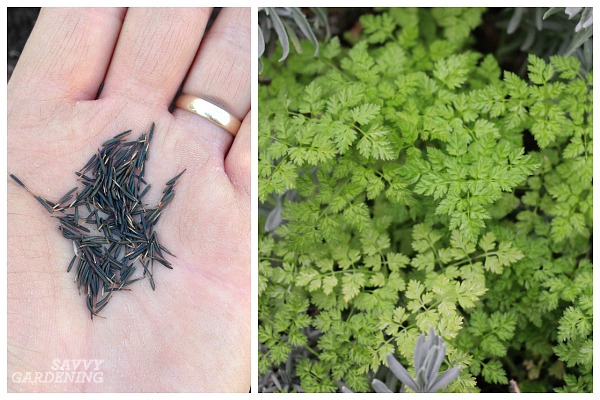 How to grow chervil in the shade