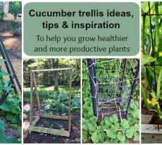 growing cucumbers vertically on trellises