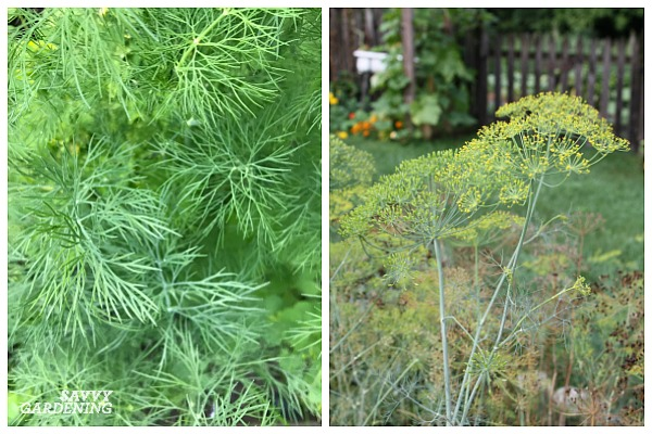 Growing dill in the shade