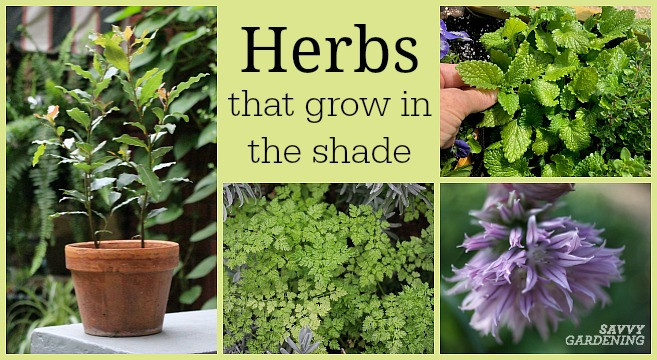 Herbs that grow in shade: 10 delicious choices
