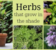 The best herbs for growing in the shade