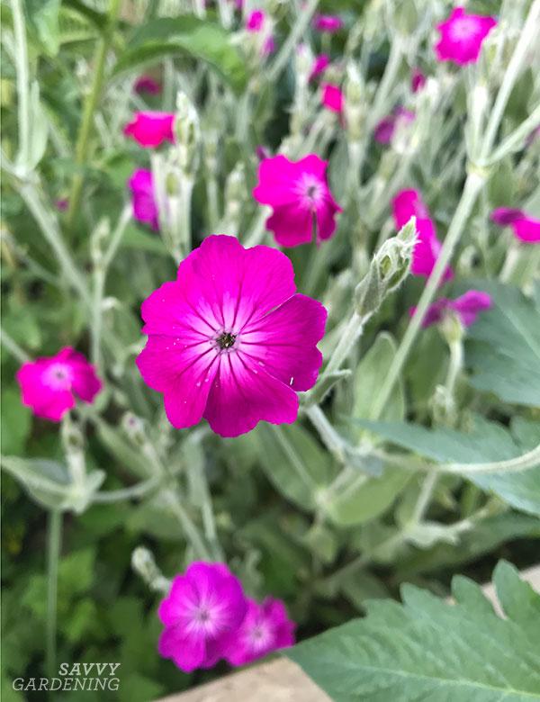 Rose campion in the garden