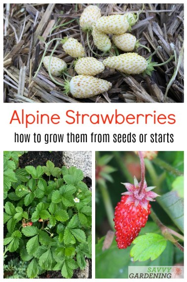 How to grow alpine strawberries from seed or transplants.