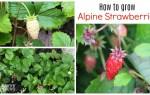 How to grow alpine strawberries