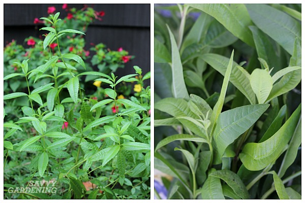 The best shade-tolerant herbs