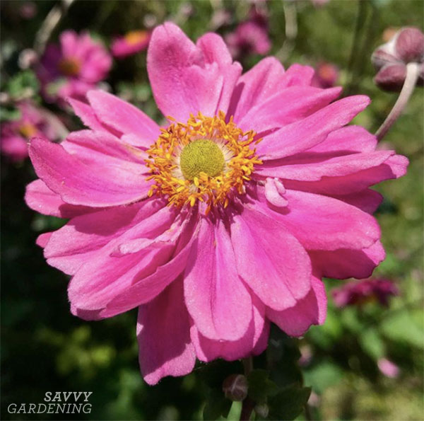 Pink Japanese anemones provide a hint of summer in a fall garden.