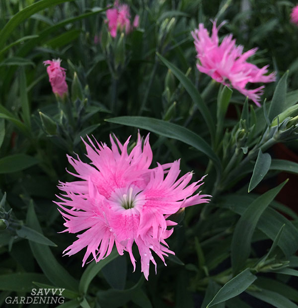Dianthus Interspecific Supra Pink is a 2017 AAS Flower Winner.