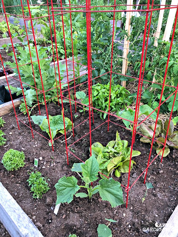Wire cucumber cage