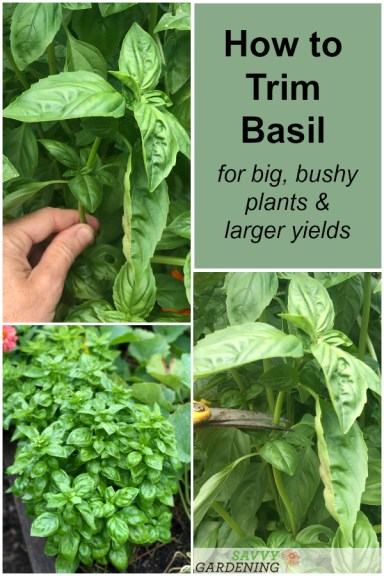 Learn how to trim basil plants
