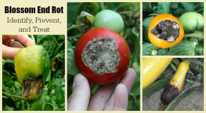 Tomato blossom end rot prevention