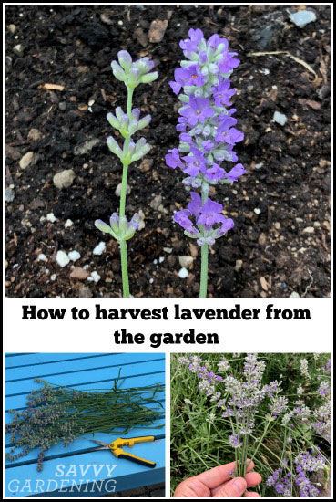 harvesting lavender from the garden