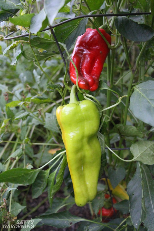 Caring for pepper plants: Pruning 101