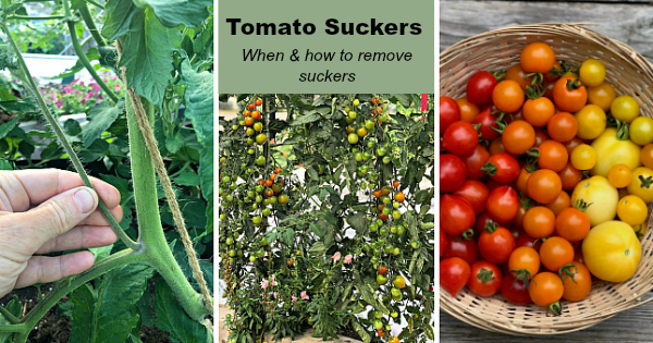 Tomato plant suckers: When and how to prune tomato plants