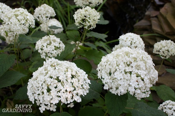Annabelle hydrangeas are a top-performing hydrangea for the garden.