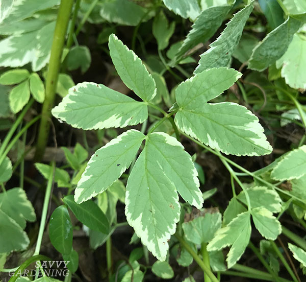 Bishop's weed, a variegated type of goutweed