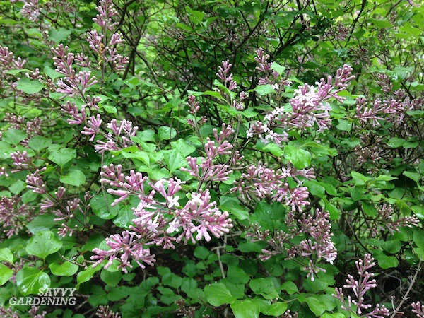 Dwarf Korean lilacs are an easy are shrub.