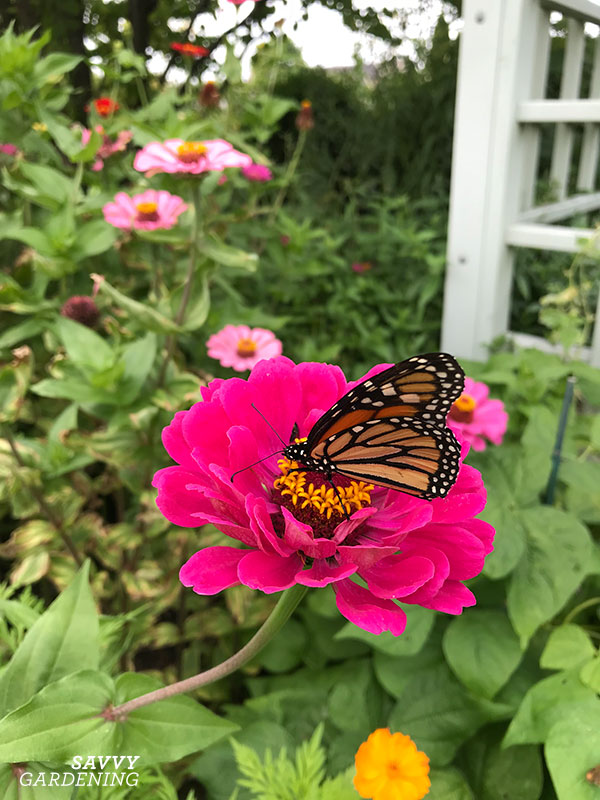 zinnia with a monarch butterfly
