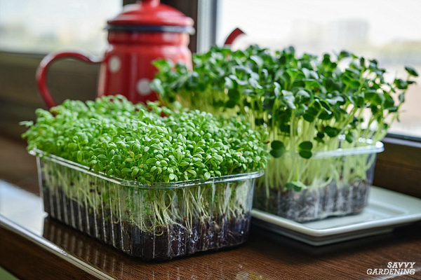 growing trays of microgreens in a windowsill