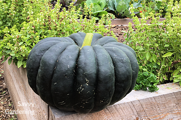 Musquee de Provence is an heirloom winter squash