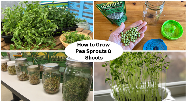 Learn how to grow pea sprouts and shoots