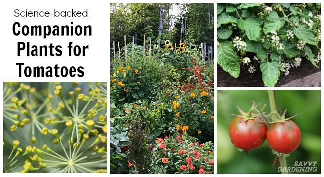 Tomato Companion Plants: 22 Science-based Plant Partners for Tomatoes