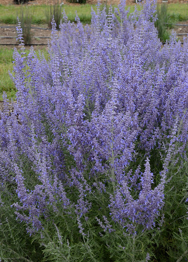 Salt and drought tolerant, the fragrant flowers of Russian sage bloom from mid summer to mid fall.