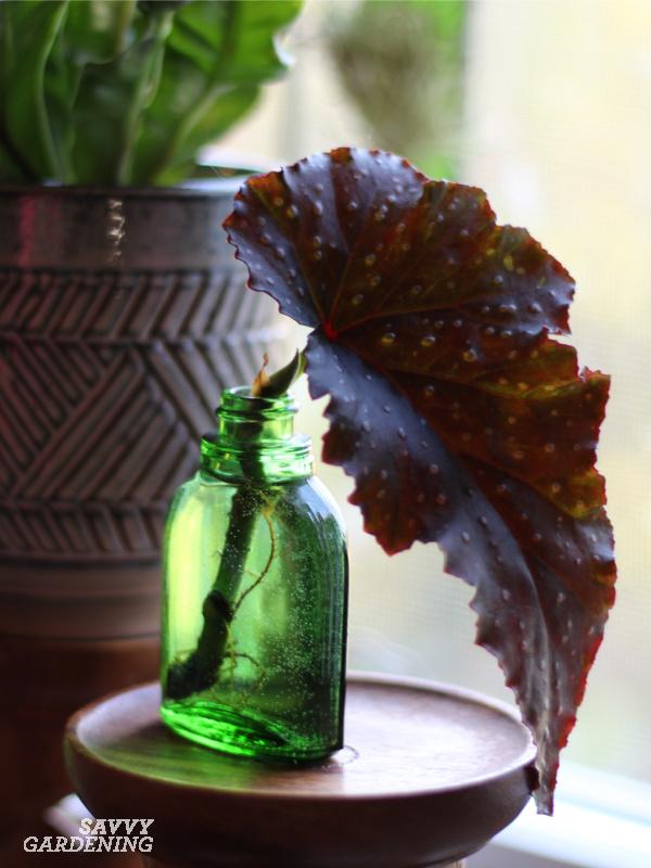 begonia leaf rooting in a vase