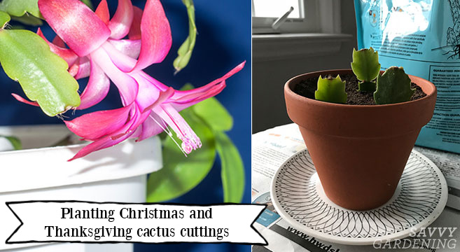 How to take Christmas cactus cuttings to make more plants