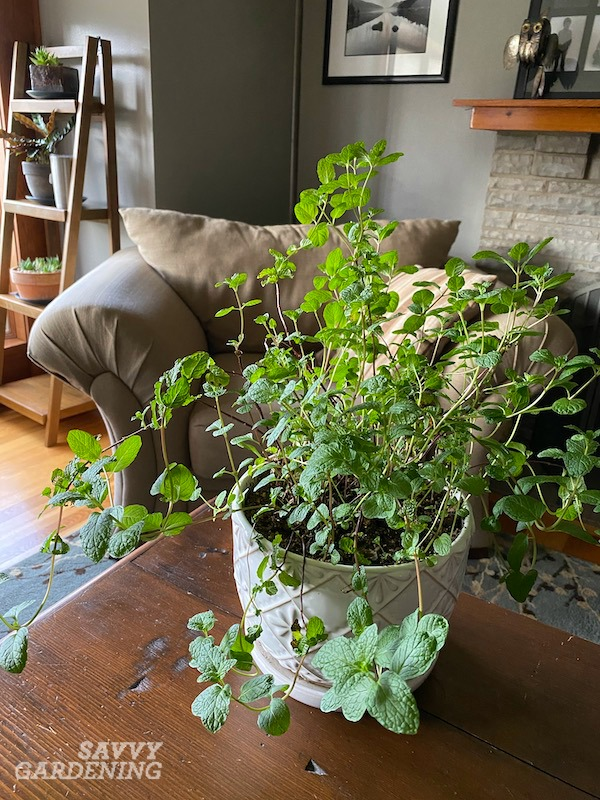 How to grow mint indoors: 3 ways to success